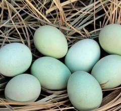 绿皮鸡蛋(散) 2元/个