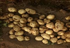 农家土豆马铃薯