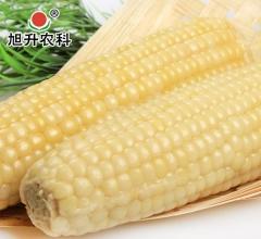 旭升农科 保鲜真空 粘玉米棒 健康好礼馈赠佳品 20穗/箱