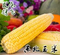 发展腾飞营养健康玉米东北玉米 10穗起卖