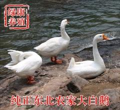 东北大白鹅 6-8斤