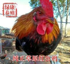 草原红公鸡 3斤左右