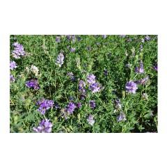 2014年新苜蓿草 植物牧草