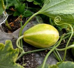 温泉香瓜 1斤