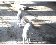 东弗里升公羊