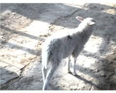 东弗里升羔羊(3个月公羊)