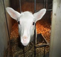 东弗里升羔羊(公羊)