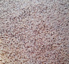 金源 水稻