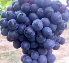 清甜葡萄新鲜水果