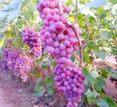 新鲜水果京秀葡萄(紫葡萄)甘甜多汁