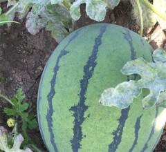 西瓜新鲜水果皮薄肉厚