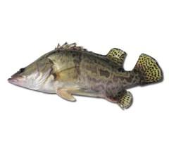 正宗东北新鲜 鳌花鱼 鳜鱼