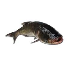 正宗东北新鲜  胖头鱼