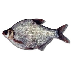 正宗东北新鲜  鳊鱼