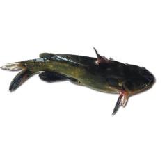 正宗东北新鲜  鲶鱼