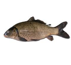 正宗东北新鲜  鲤鱼