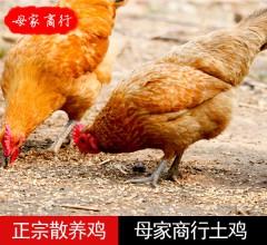 母家商行  散养鸡  1只