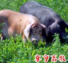 享亨畜牧 整猪