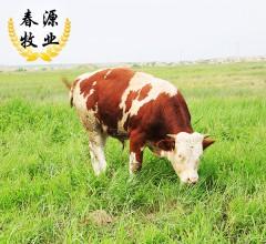 春源畜牧 活牛一头