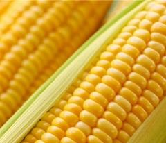 新鲜玉米预售,绿色无公害甜糯玉米现掰现发货